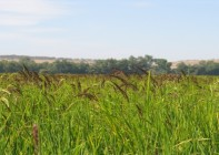 Echinochloa en arrozNeurona